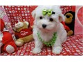 Top quality Male and Female Maltese puppies100 Purebred Nice and Healthy Vet checked current o