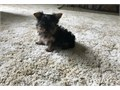 Sweetheart Yorkshire Terrier Puppies Available For Sale Our puppies are very sweet and charm