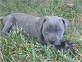 Cane Corso puppies Contact for yours These puppies are family raised and well socialized with chil