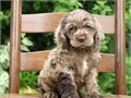 Attractive Cocker Spaniel PupsVery great with kids and other pets and love everyone Smart and eas