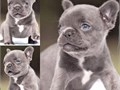 This adorable little puppy was born on 020119 His blue brindle with blue Chocolate and brind