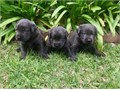 Spring Litter 7 AKC certified male Charcoal Colored American Labradors for sale Ready to go home t
