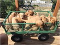 We have 2 litters of AKC Golden Retrievers puppies that will be ready 714  725 We are located in