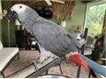 Brave African grey parrots ready they are very playful and friendly with childrenTextcall at 56