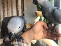 Lovely African Grey  Hand-reared African Grey Parrots available now All parrot