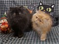 2 Show Quality Long Haired Persian Kittens 4 Sweet Loving Pets ready now  A little Red Tabby boy