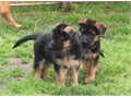 We have beautiful puppies for sale They have a really nice red and black coat The puppies have a g