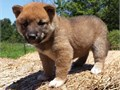 Cute Shiba Inu Puppies for saleTrained puppies Registeredregistrable Curren