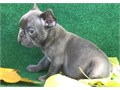 Available is the Top Quality Blue boy He is out of our Blue and tan boy Gambit Solid blue No brin