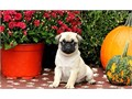 Dvi Pug Puppies for sale -  text us at804 592 0091- For more info and pics text us at804 5