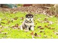 Active Alaskan Malamute Puppies AvailableThey are very friendly with other pets and children Ready