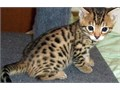 Exotic Bengal Kittens For instant feedback Reach me at txt  917 336-5926