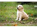 Home trained Golden Retriever puppies available These pups have their shots and