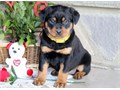 Rocky Rottweiler PupsOnly text or call at  785 422-8913 i really check my Ema