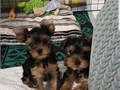 Hello Im re homing my 12 weeks old Yorkie pups Hes super friendly adorable face playful He is