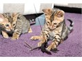 Cute Bengal kittens 4saleThey will come with - health insurance for 4 months - heath check-