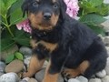 honest Rottweiler puppies for salelove playing and runningtext or call me for more info and pictur