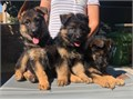 I have puppies available 3 females 8 weeks old  with AKC father imported from Germany 0   Fe