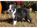 HelloI have 5 beautiful Boston terrier puppies in need of a new homeText or call 650 684-7538