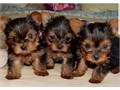 Very cute little yorkie puppies 2 females 2 males 8wks old They have first puppy shots and health