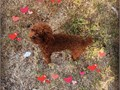 Find a wife for my boy 800  2 timesMy boy is 6bls red toy poodleWife needs also red toy poodl