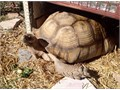 Male Africa Sulcata 15 years old About 125 poundsHes good boy very friendly Im going to mo