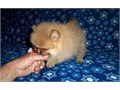 Teddy Bear Pomeranian Puppies Call or text 920 415-4055   if interested in the puppies Ready to