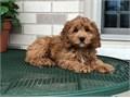 Cute Cockapoo puppies for sale Visit Website httpswwwwingstopcockapoopupshomecom