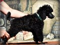 Champion sired Black Standard Poodle Puppies For Sale they are ready mid October for their new fore