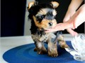 Lovely male and female Yorkie puppies ready for re-homing They are AKC registeredvet checkmicro