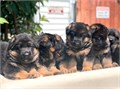 I have puppies available 3 females and 2 males with AKC father imported from Germany Males p