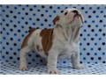 Male and Female English Bulldog puppies So gentle and affectionate I have one male and one female