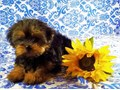 Male Yorkie 3 12 months old ready for his new home He has a very cute playful personality He is c