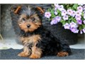 Cute Yorkshier Terrier Puppies for sale very cute and attractive for more info and pics text us at