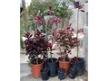 Euphorbia Grantii