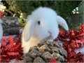 We have very cute Holland lop rabbit babies for sale They are 8 weeks old and reasy to go to there