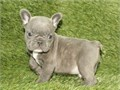 Ream Blue Frenchies Available For More info Visit Our Website at wwwakcmicrofr