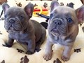 AKC Mini French BulldogsMFs10wks Shots UTD with papersFor instant feedbackTextCall 501 904-0