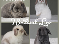 PLEASE TEXT ME ABOUT UPCOMING LITTERS Super sweet purebred Holland Lop Bunnies  Please text me ab