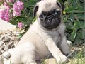 Adventurous Pug puppies ready Our puppies are very sweet and charmingcontact at 650 684-7538