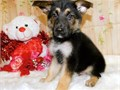 This puppy is a very loving and sweet little boy Amazing coat and staying on the small side He is