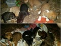5girls4boys collie pitt  mix 4wks old be readyOct 24th small rehoming  fee only serious  inquire pl