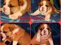 Akc english bulldog puppies  2 males available  Born may 6th  Taking 500 non refundable deposit n