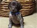 German Shorthaired Pointer pups Field Champion Bloodlines from hunting parents raised in our home