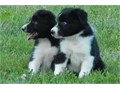 Border Collie Puppies For SalePlease text message701 645-1164 Only serious b