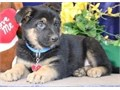 German shepherd pupsRegisteredregisterable Current vaccinations Veterinarian examination Health