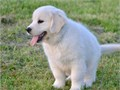 Golden retriever puppiePedigree quality pups 2 sable dog pups available they are full pedigree b