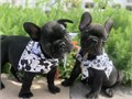 Pure Bred French Bulldog pups All are boys Can have their health certified by a doctor Vaccinat