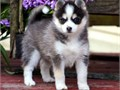 GREAT Siberian Husky Puppies for sale -  text us at804 592 0091- For more info and pics text u