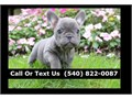 fg French Bulldog Puppiesfor adoption10 weeks old for more informations and